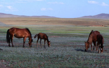 Kazakh horses on the steppe near Botai.
