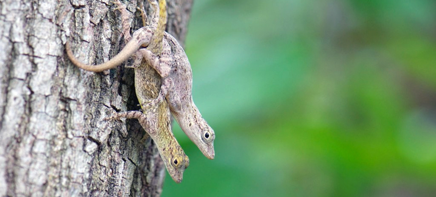 Anolis distichus mating.