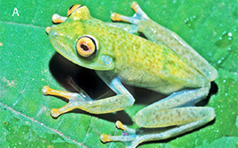 Duellman's Frog
