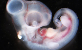 Katherine May's photograph of developing A. distichus embryo.