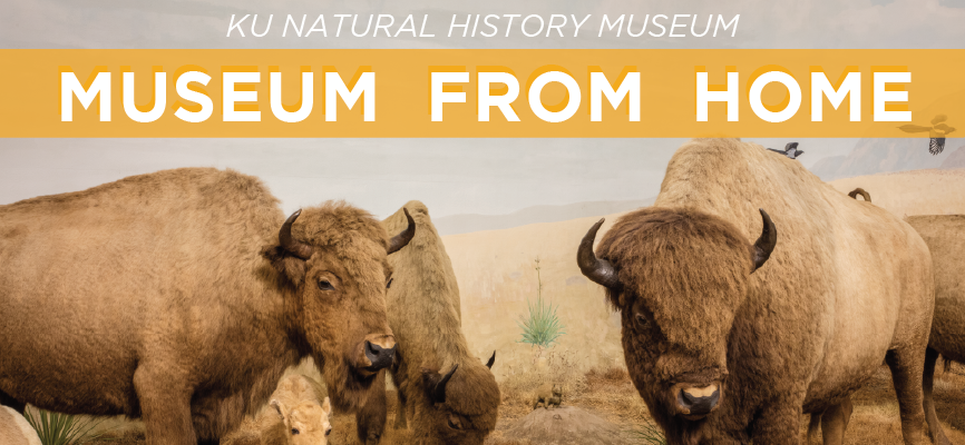 Image of bison from the KUNHM Panorama exhibit with text Museum From Home