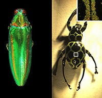 Jewel Beetle & Weevil