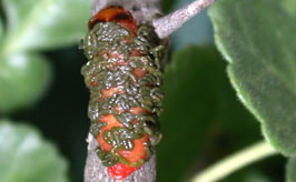 Chrysomelidae larva photo