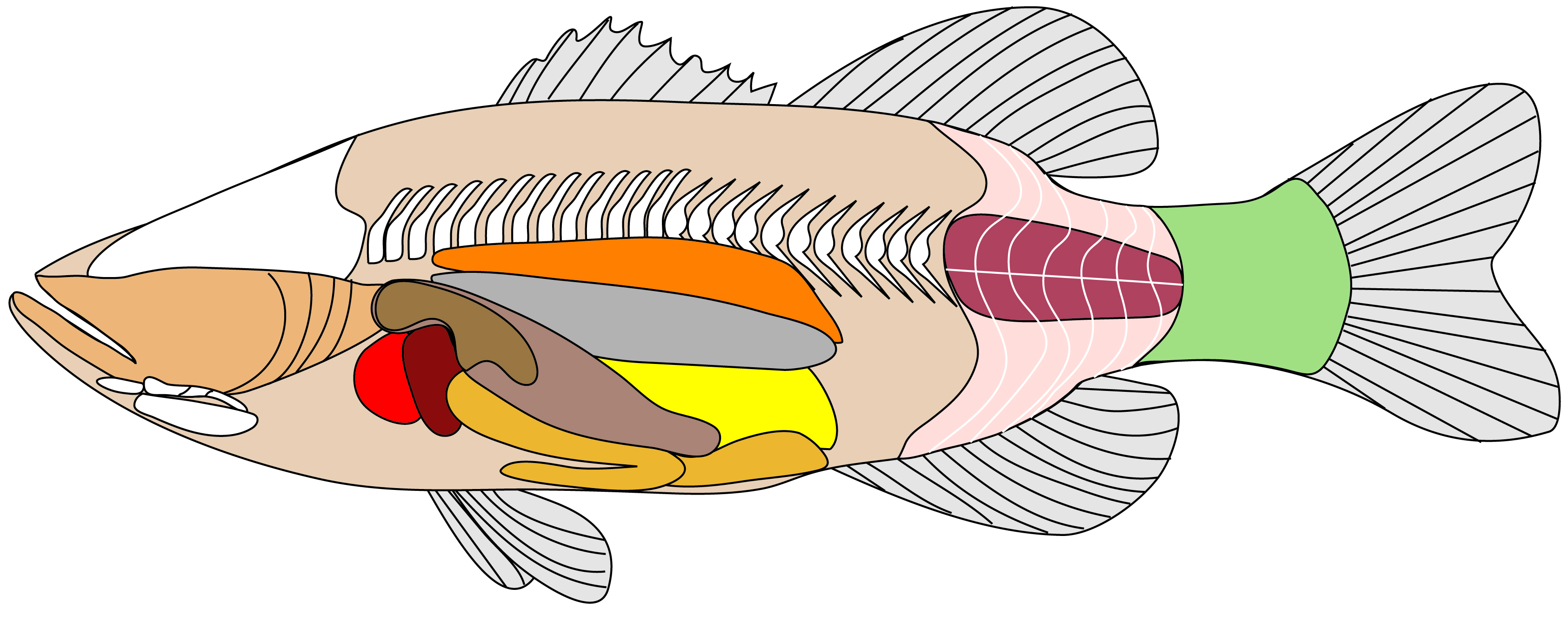 Investigating A Deep Sea Mystery internal fish anatomy