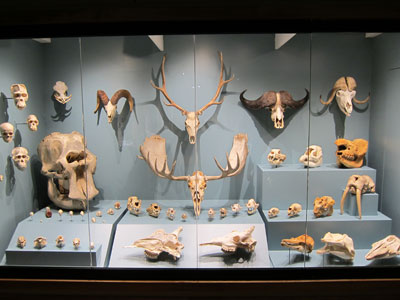 Mammal skull exhibit