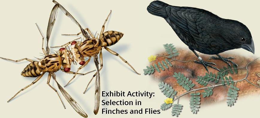 Exhibit Activity: Selection in Finches and Flies