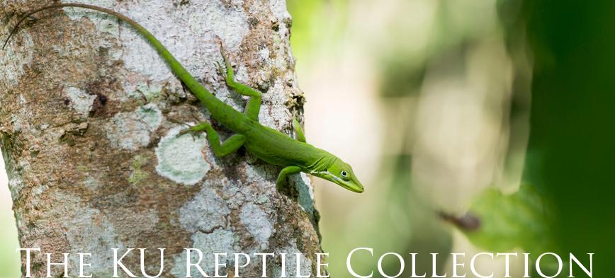KU Reptile Collection