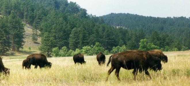 Bison on great plains