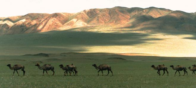 Camels in Mongolian steppe